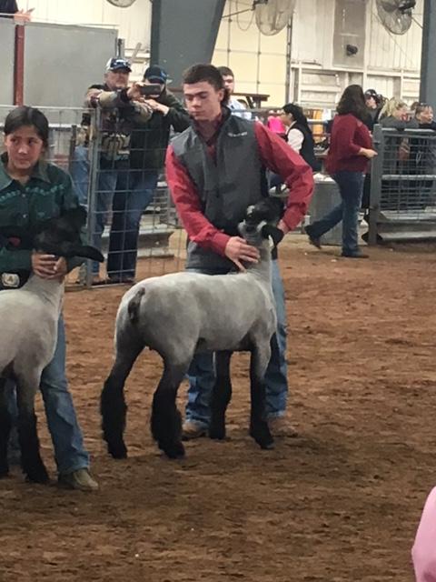 Cole sheep